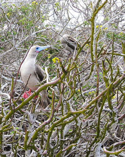 Red-footed boobies model and preen on Genovesa Island. ©Joshua Brockman 2007. All Rights Reserved.