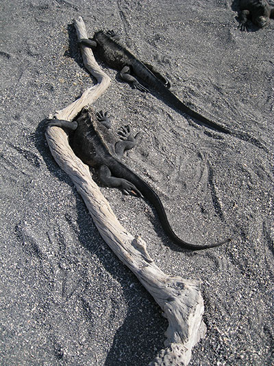 Marine iguanas embrace a piece of driftwood on Fernandina Island. ©Joshua Brockman 2007. All Rights Reserved.