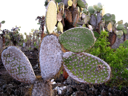 """A misspelled missive—promising """"friends forever""""— is engraved in an opuntia cactus near Playa Mansa, Santa Cruz Island. The lifespan of these plants can extend for hundreds of years. ©Joshua Brockman 2007. All Rights Reserved."""