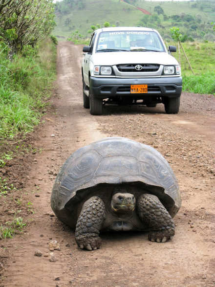 Share the road: A giant tortoise in his lane near Rancho Primicias, Santa Cruz Island. ©Joshua Brockman 2007. All Rights Reserved.