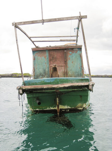 Captain of the ship: A sea lion commandeers a fishing boat on Isabela Island. ©Joshua Brockman 2007. All Rights Reserved.