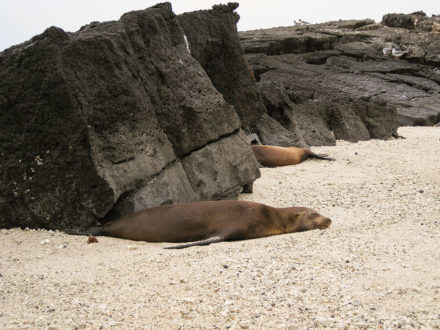 Sea lions snooze amid lava rocks on Genovesa Island. ©Joshua Brockman 2007. All Rights Reserved.