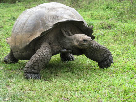 A giant tortoise on the move inside Rancho Primicias, Santa Cruz Island. ©Joshua Brockman 2007. All Rights Reserved.