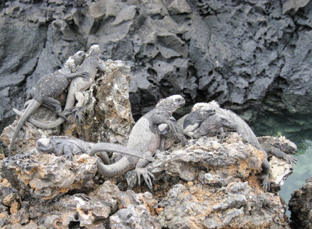 Juvenile marine iguanas hugging it out on Las Tintoreras, near Isabela Island. ©Joshua Brockman 2007. All Rights Reserved.